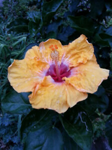 Hybrid day lillies