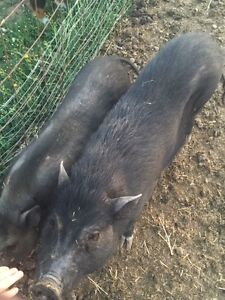 Mini and Micro Potbellied Pigs