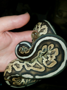 Baby ball pythons and adults availble
