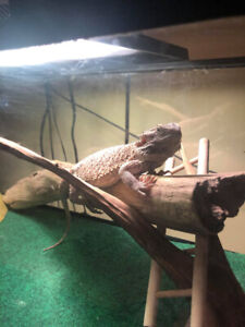 Selling bearded dragon and Tank
