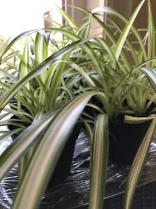 Spiderplants
