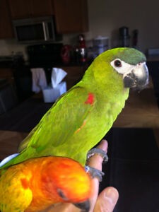 1.5 year old Hahn's mini macaw parrot bird conure Male tame