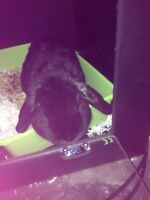 Shadow the most lovable male lop rabbit