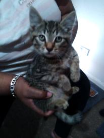 Tabby kitten male for sale