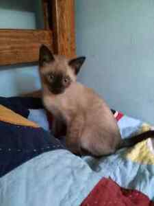 Purebred siamese seal point kittens