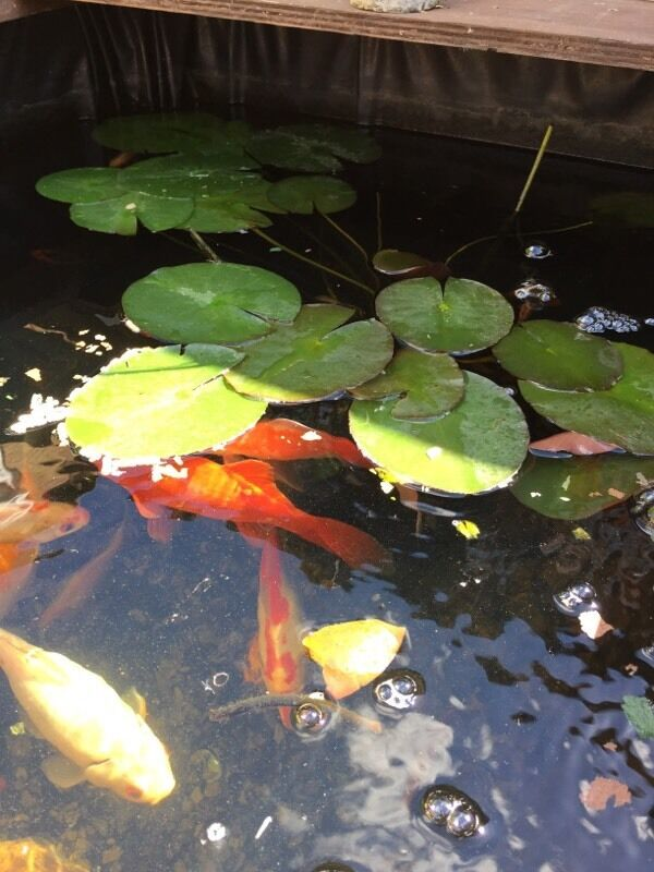 Pond plant lily in andover hampshire gumtree for Pond fish and plants for sale
