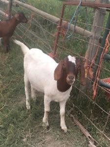 Goat doelings