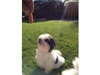 Maltese X Yorkshire terrier puppies