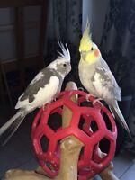 Adorable Couple COCKATIELS + Cage