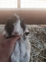 Colourful baby guinea pigs for sale