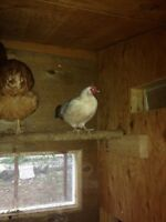 Free Banty rooster and two hens