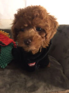 Adorable Toy Poodle looking for home!!!