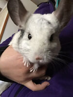 Cute chinchillas looking for new home!