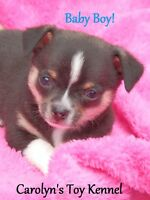 ♡♡♡ 3 Tiny Purebred Chihuahua Pups Will EXCEED Expectations! ♡♡♡