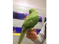 green baby Indian ring neck talking parrot