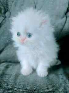 Purebred female persian ready for her new home!!