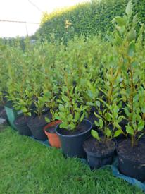 Griselinia Hedging Plants.