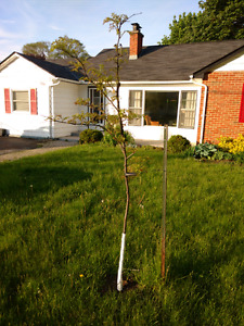 Tree for sale