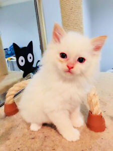 Flame color ragdoll find new home
