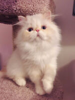 Pure Persian Kitten is Ready to GO