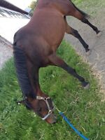Horse for ON PROPERTY half lease