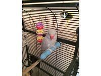 INDIAN RING NECK GREY PARROT