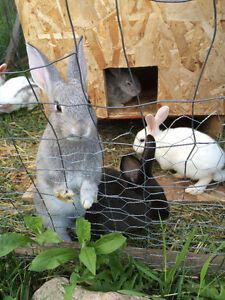 Baby New Zealand cross rabbits