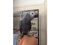 Baby African grey parrot with cage and accessories
