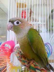Pineapple conure. Male hand Tim for sale