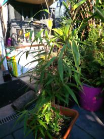 4ft bamboo plant tropical garden