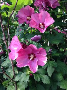 Hibiscus vivace