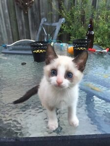 Snowshoe Kitten for Sale! With Vaccines and Supplies