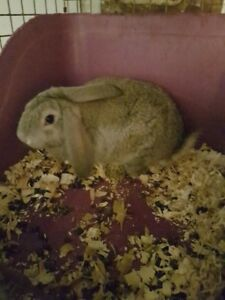 French lop cross flea mesh Giant  bunny  for sale,