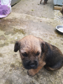 Border terrier pup for sale (dog)