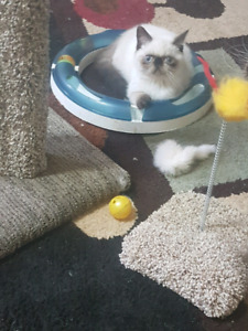 Seal point exotic shorthair