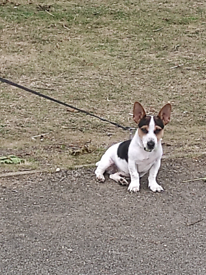 Jack Russel Pappy