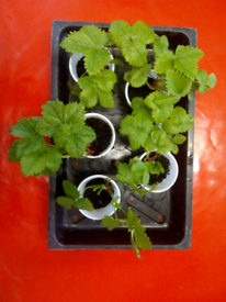 5 strawberry plants. Collection Thornton heath