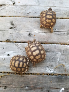 Baby Tortoises | Kijiji in Ontario  - Buy, Sell & Save with Canada's