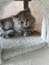 Gorgeous BSH female kitten - READY NOW