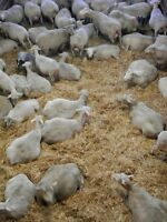Bred Sheep! Free Ship.Ont! SALE ON  NOW! High Production EWES!