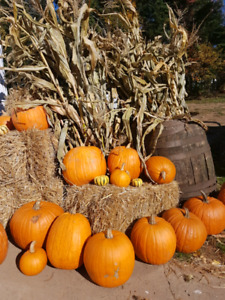 Straw, Corn stalks ,and Pumpkins for sale