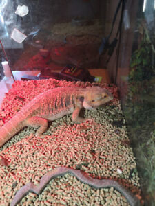2yr old Female Bearded Dragon