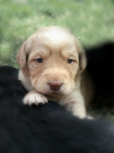 Adorable Labradoodle puppies for sale