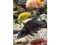 Lake tanganyika cichlid fish x 4