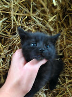 Adorable Black Female Kitten
