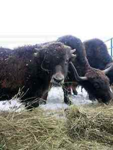 4 cows &1bull Yak for sale