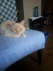 Missing my flame point Siamese !REWARD OFFERED !!