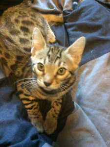 Ready now Tica registered 10 week old Bengals