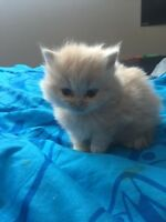 himalayan kittens for 300$ each