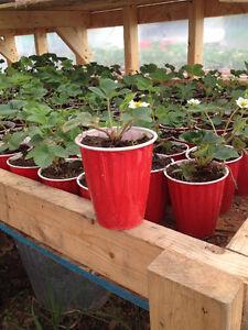 Strawberry plants for sale - Riverside-Albert